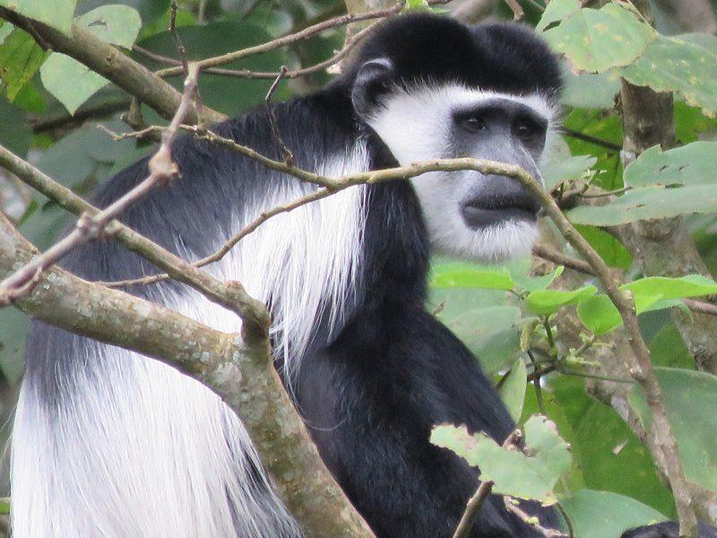 Black & white Colobus monkey in Uganda