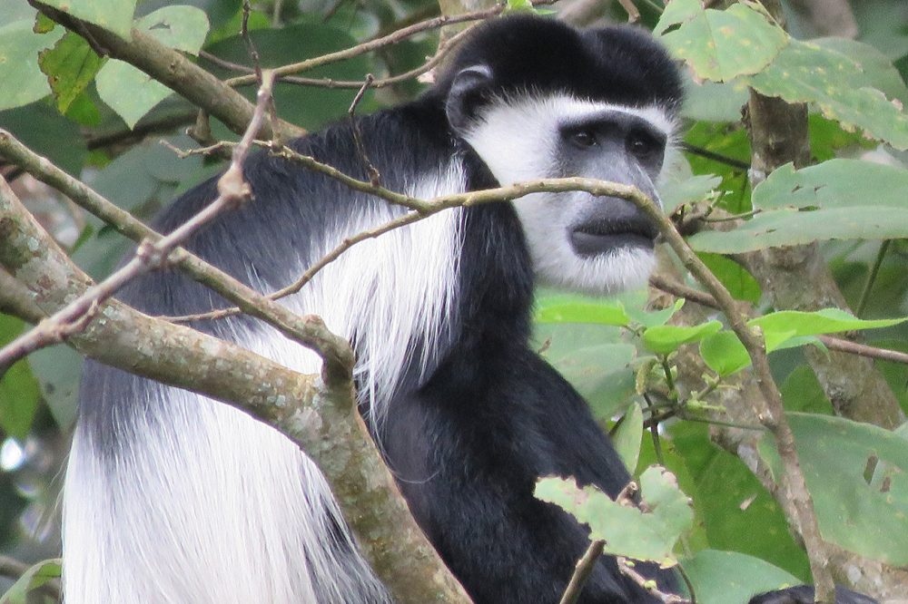 Black & white Colobus monkey in Uganda
