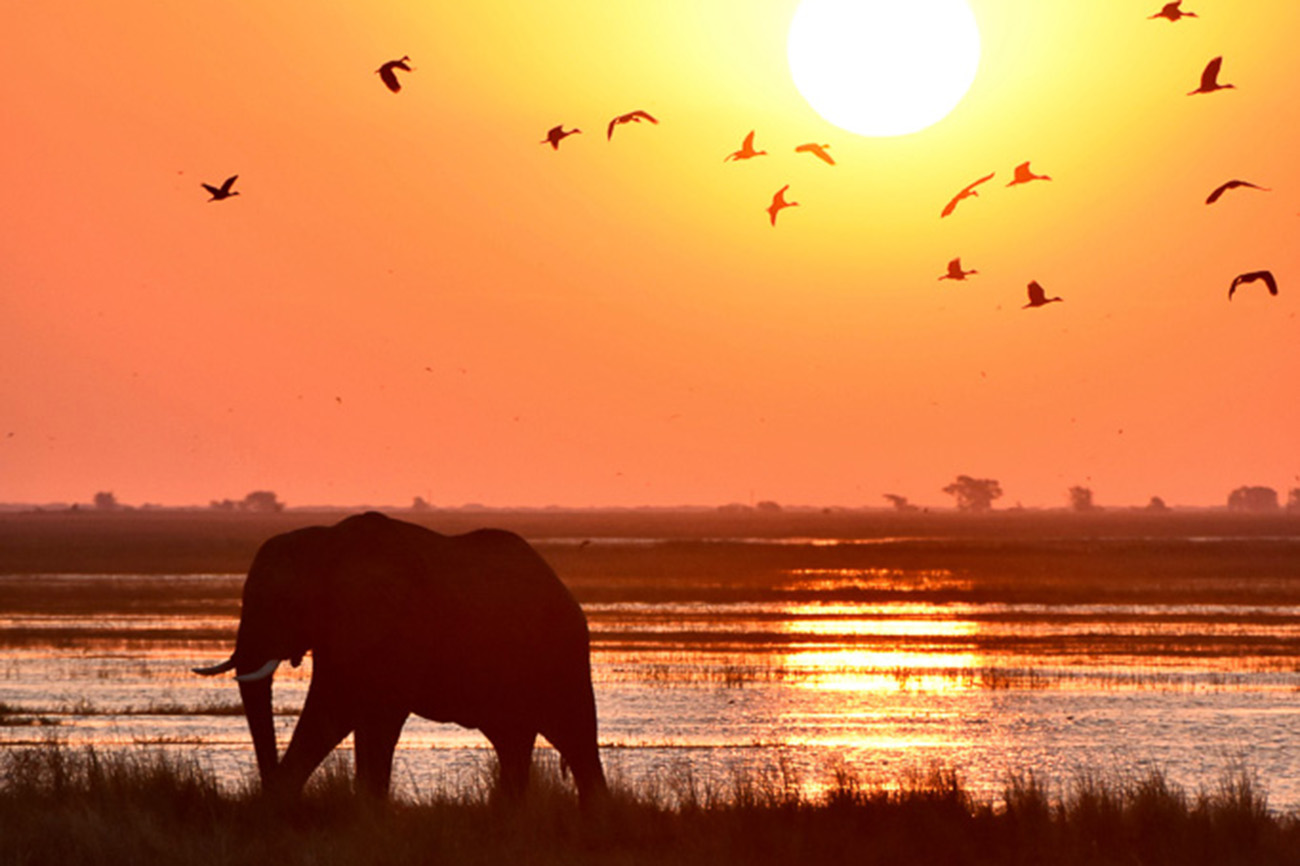 Elephant at sunset in Uganda.