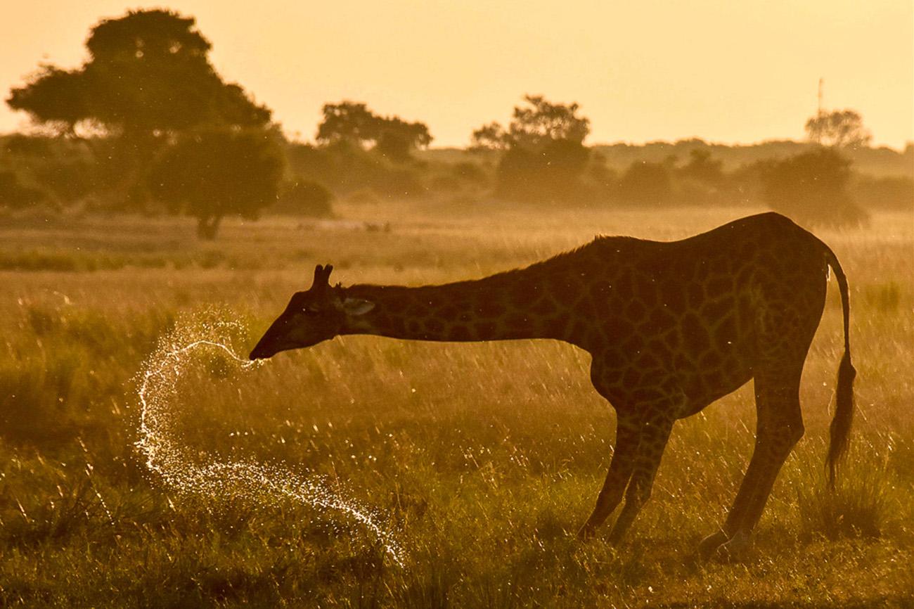 Giraffe at Sunset in Uganda.