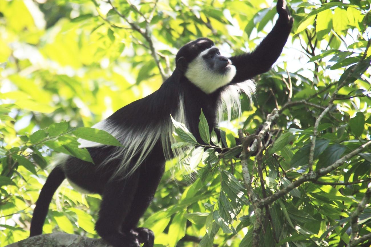 Black and white colubus monkey in Semuliki national park