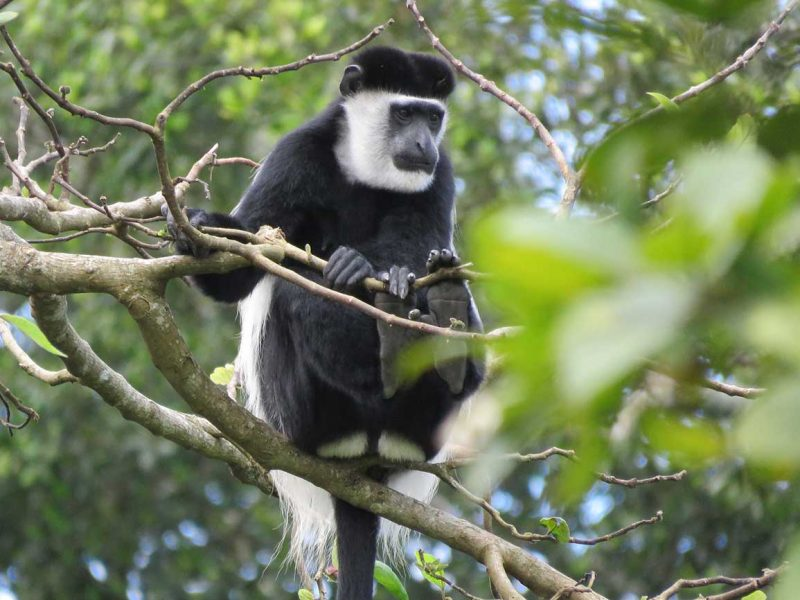 Black & white colobus Monkey Bigodi swamp Uganda
