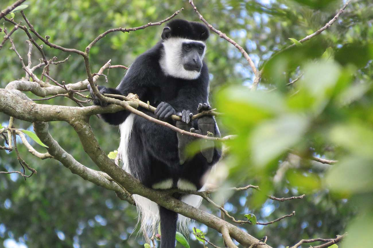Black & white colobus Monkey Bigodi swamp Uganda