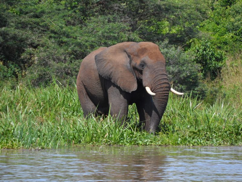 Elephant on river Nile shores Murchison Falls National Park