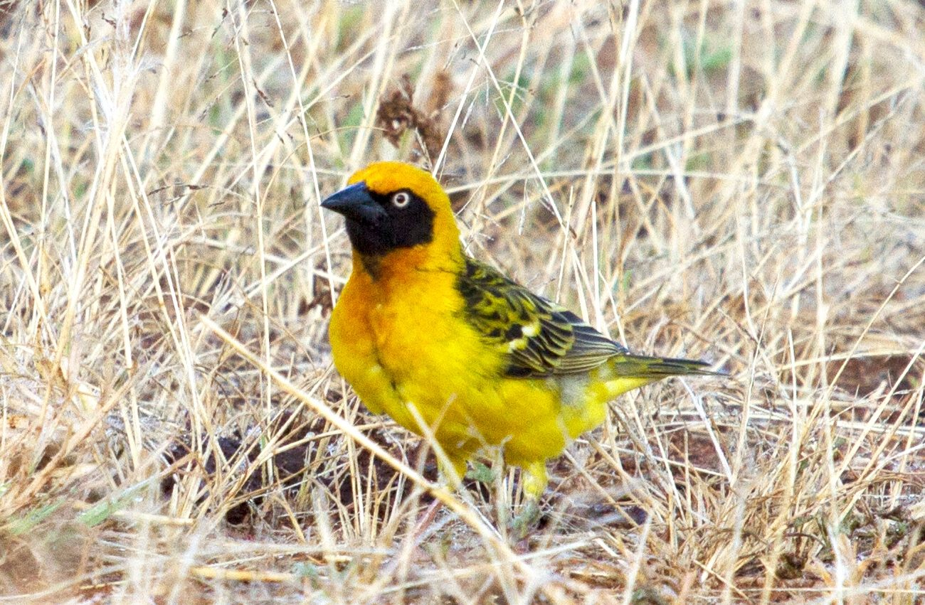 Fox's weaver eastern uganda endemic bird