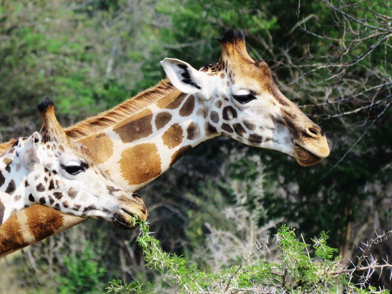 Giraffe in Lake Mburo National Park, Uganda