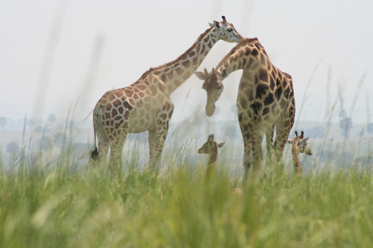 Giraffe Murchison Falls National Park Northern Uganda