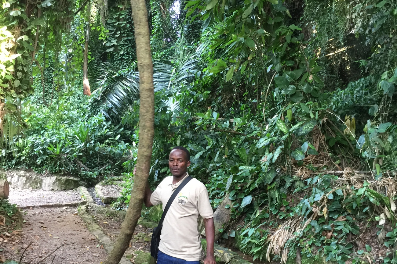 Huge vines at Entebbe botanical gardens home to various bird species and primates