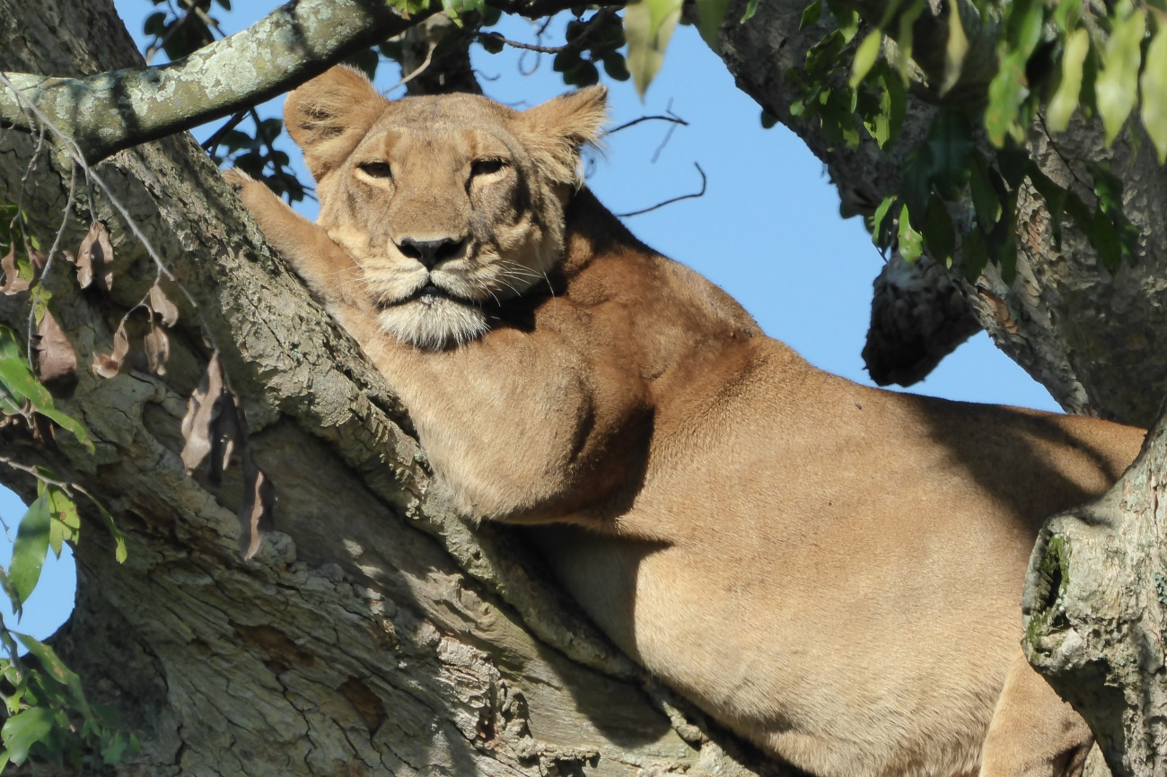 Ishasha tree climbing Lion south western Uganda