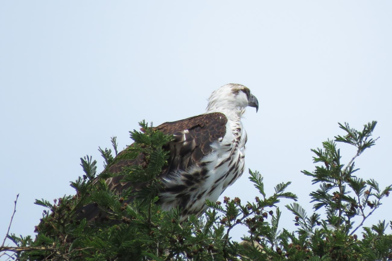 Juvenille African Fish Eagle Queen Elizabeth national park Uganda