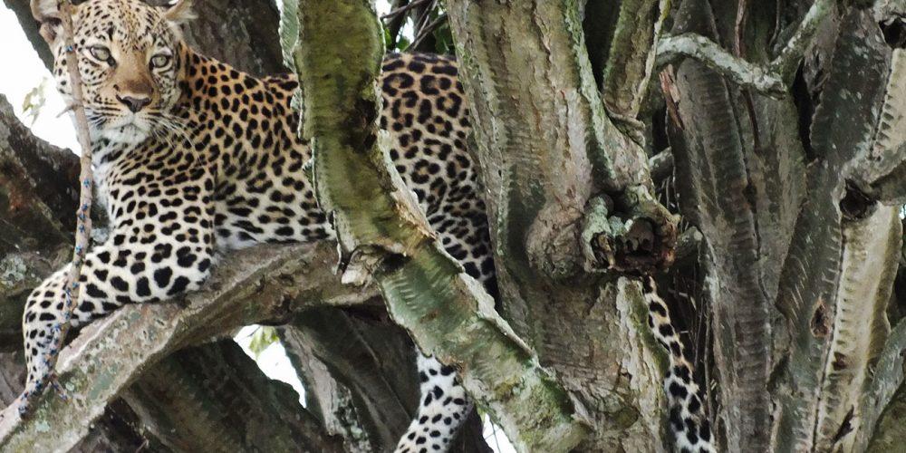Leopard Queen sits in tree in Uganda