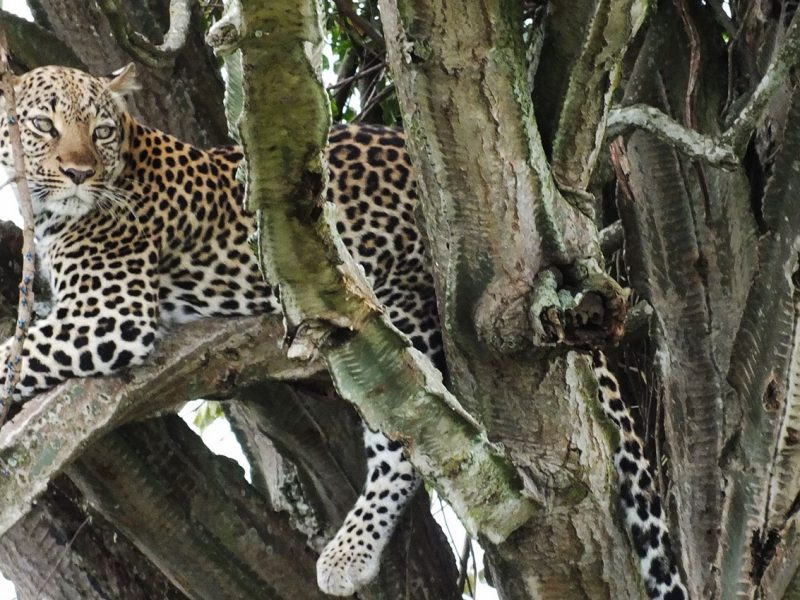 Leopard in Queen Elizabeth national park Uganda