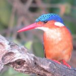 Malachite Kingfisher Lake Mburo national park Uganda