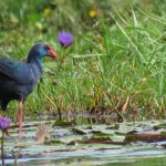 Purple Swamphen, Mabamba wetlands Uganda