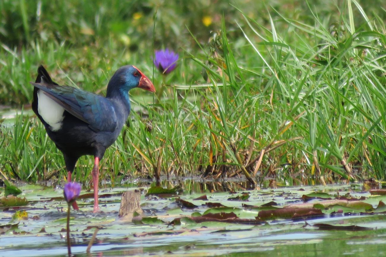 Purple Swamphen, Mabamba wetlands Uganda