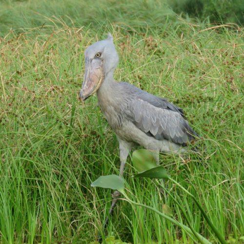 Shoebill Mabamba wetlands Uganda