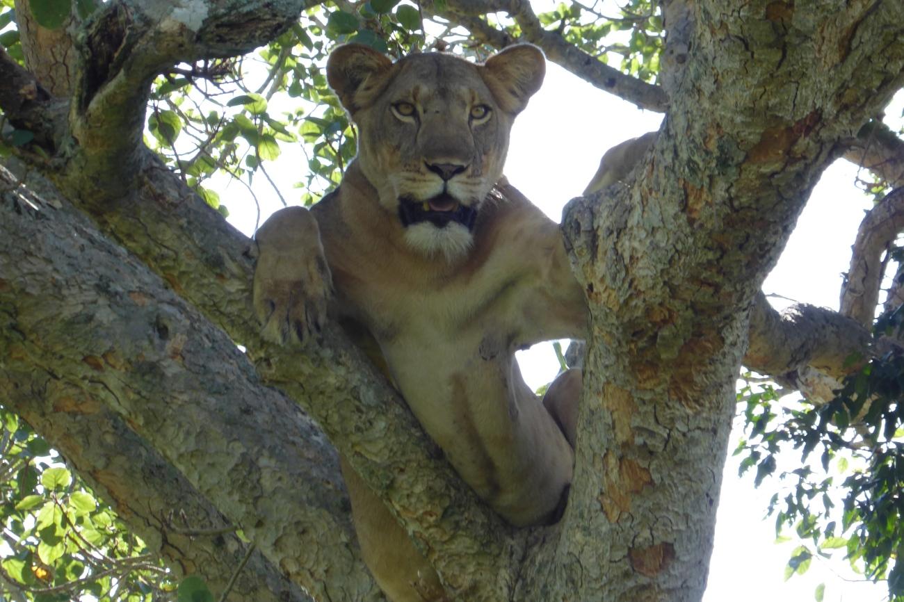 Tree climbing Lion in Ishasha sector in Uganda