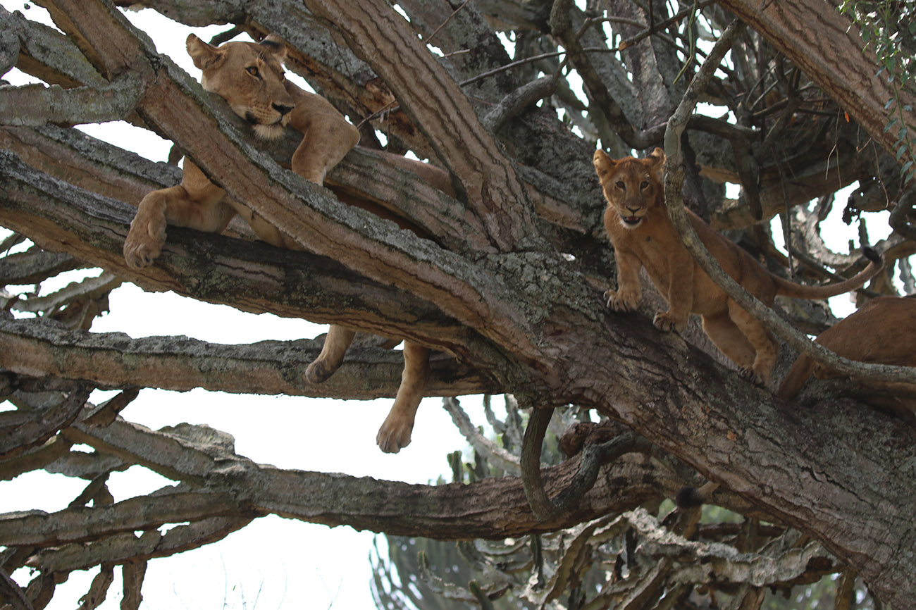 Tree climbing lions Ishasha sector of Queen Elizabeth national park