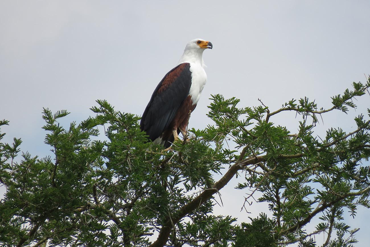 African Fish Eagle in Uganda.