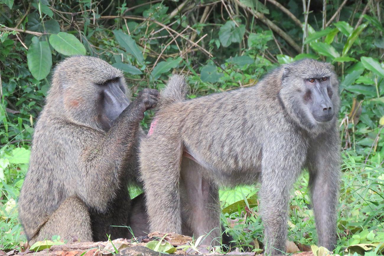 Bottom inspecting Baboon in Uganda.