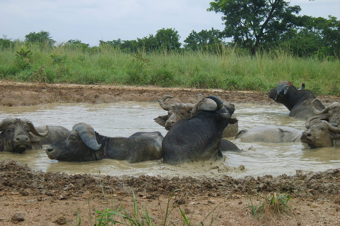 Wallowing Buffalo, Uganda
