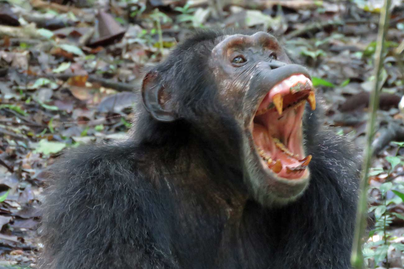 Chimp Kibale forest Uganda