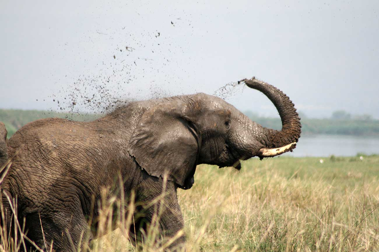 Elephant taking mud shower along Kazinga channel Uganda