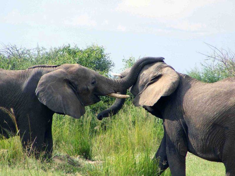 Elephants playing together in Uganda.