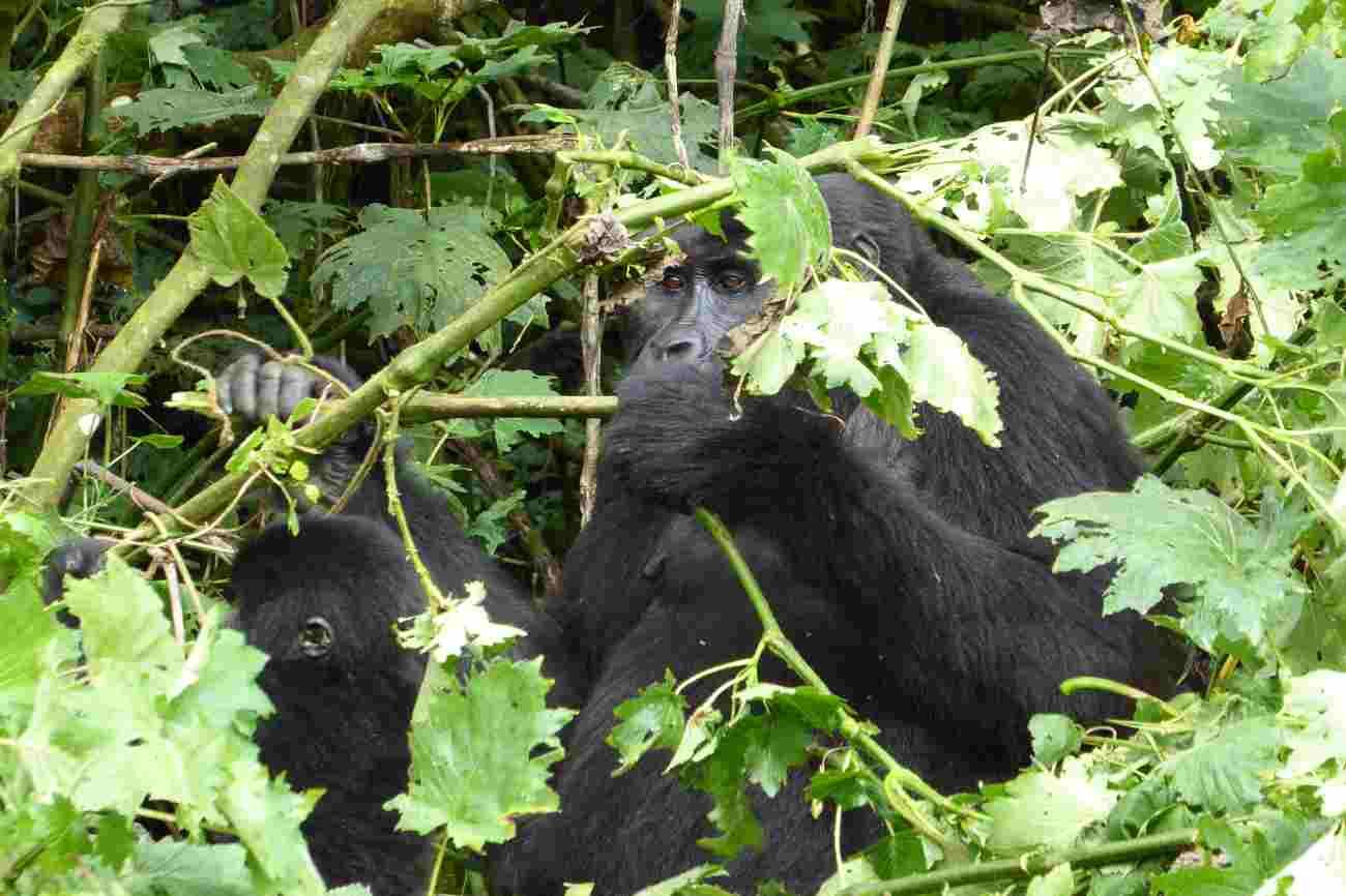 Endangered mountain gorilla at Mt Gorilla national park, Uganda