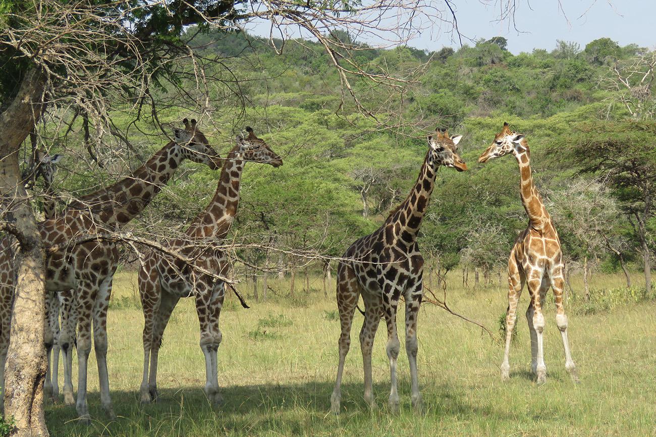 Giraffe, Mburo, Uganda