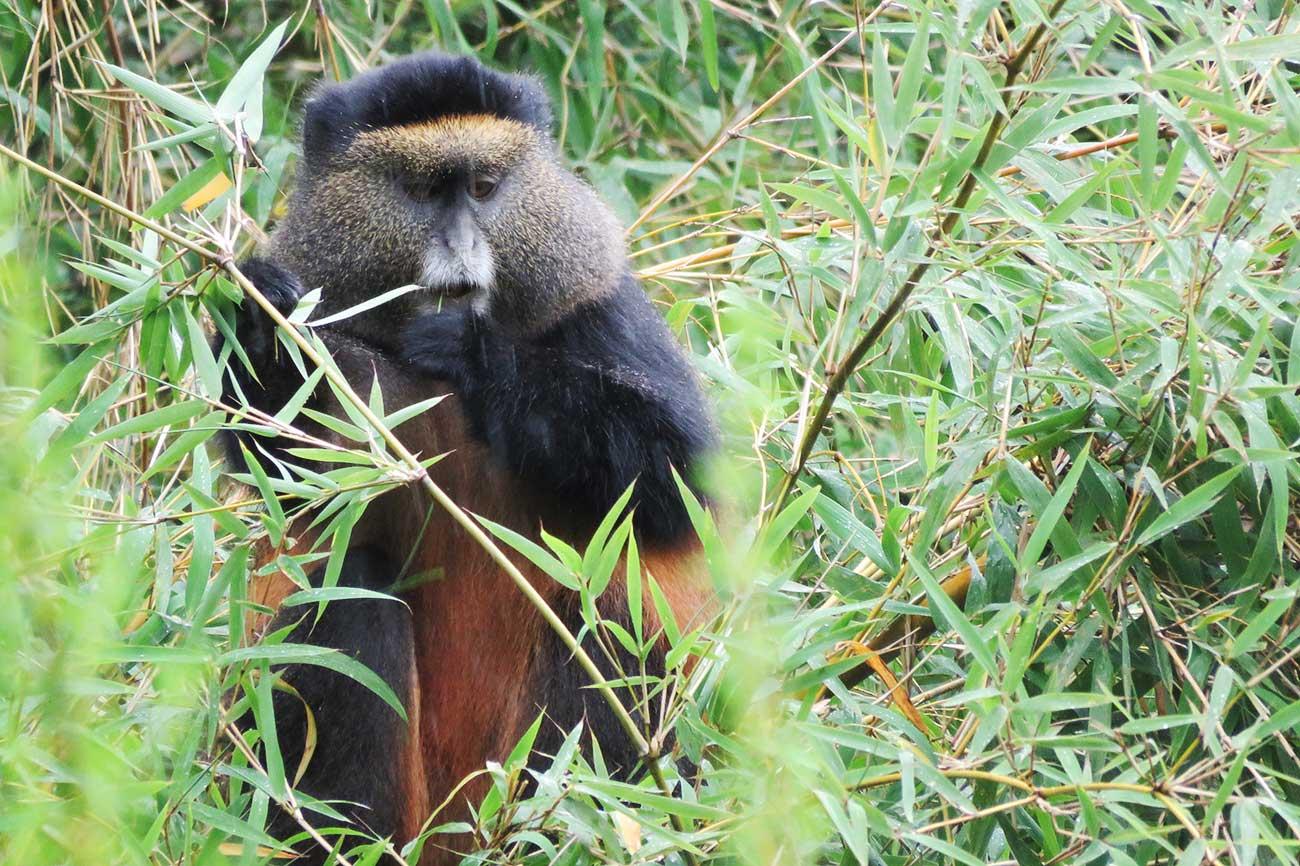 Golden Monkey at Mgahinga Uganda