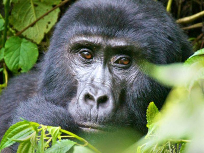 Gorilla Mgahinga Gorilla National Park-Uganda