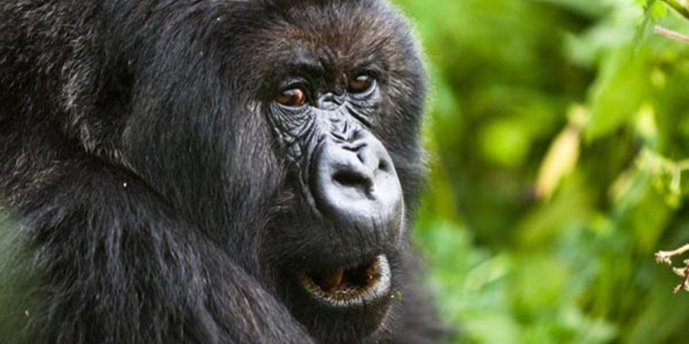 Endangered Mountain Gorilla, Bwindi forest in Uganda.