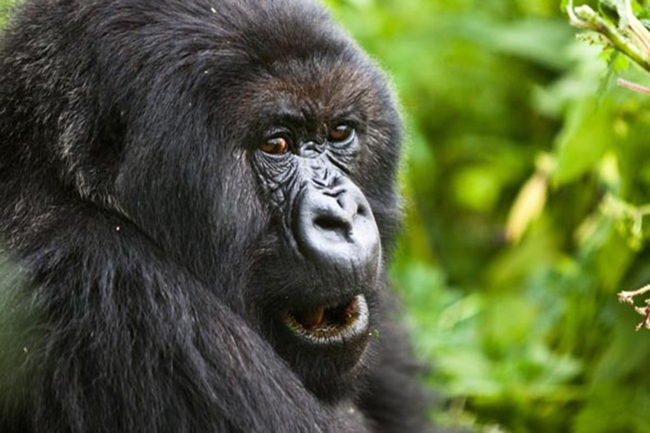 Endangered Mountain Gorilla, Bwindi forest in Uganda.