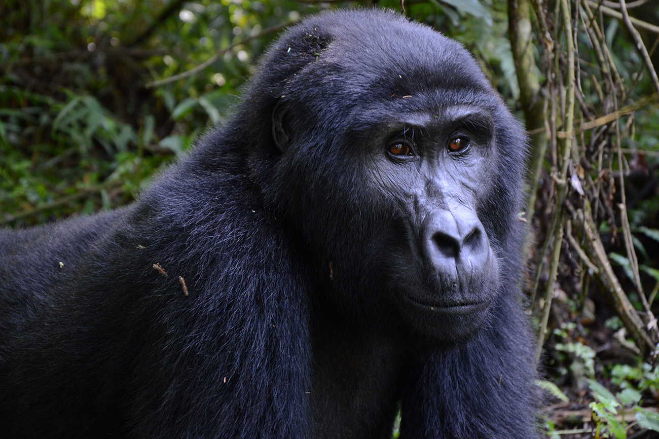 Gorilla Bwindi forest Uganda