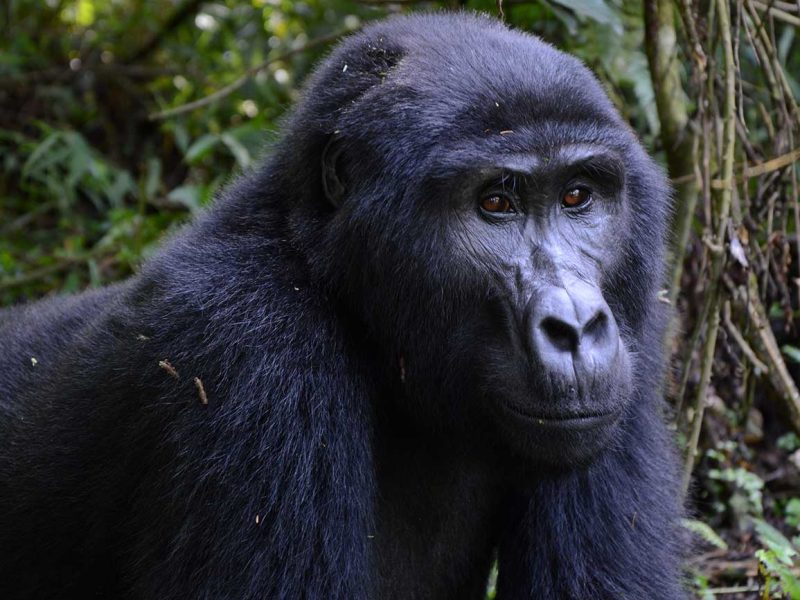Gorilla tracking Bwindi forest Uganda