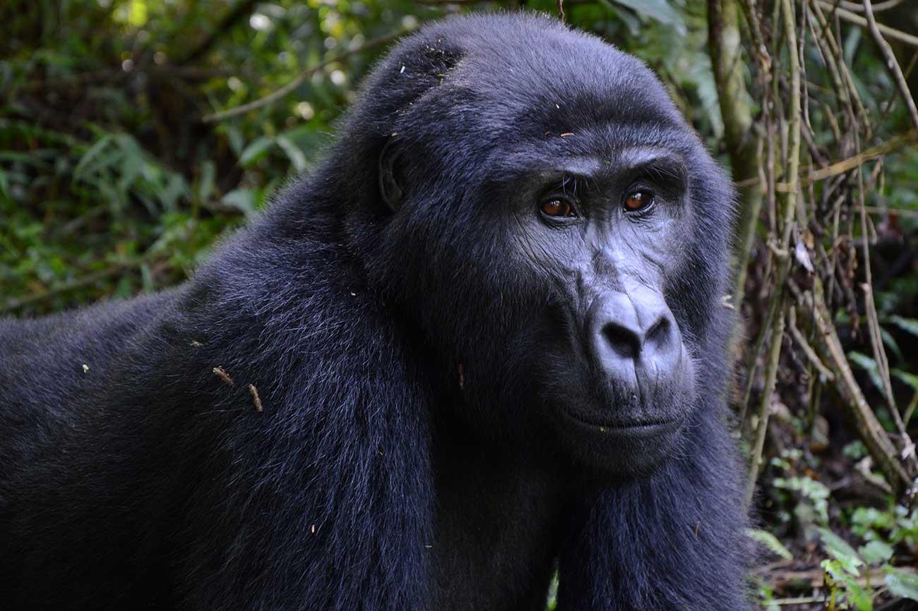 Gorilla on tracking safari in Uganda