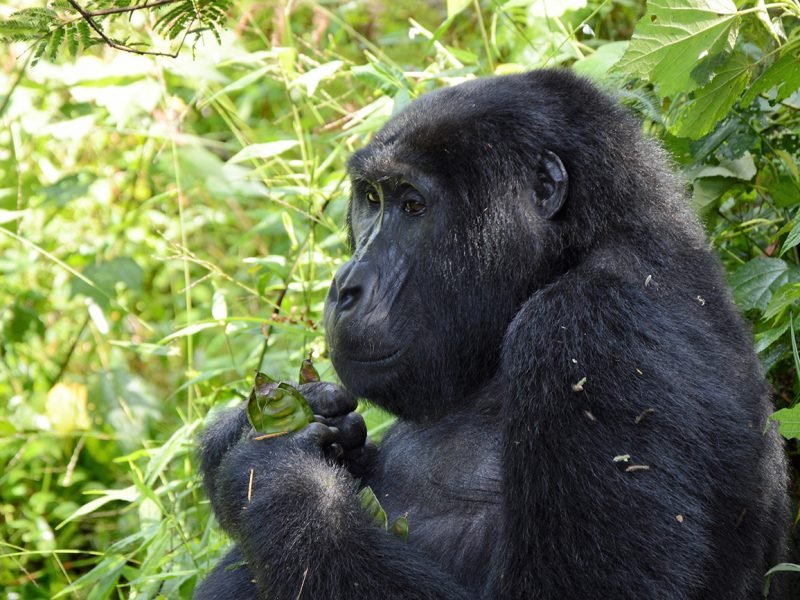 Gorillia relaxing in Uganda.