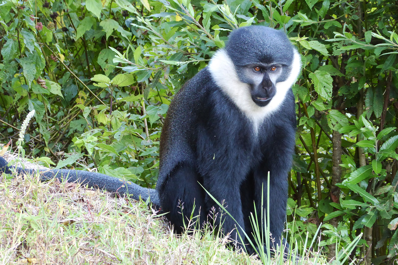 L'Hoest Monkey near Kibale forest Uganda