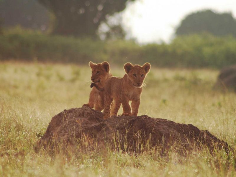 Lion cubs Queen Elizabeth national park Uganda