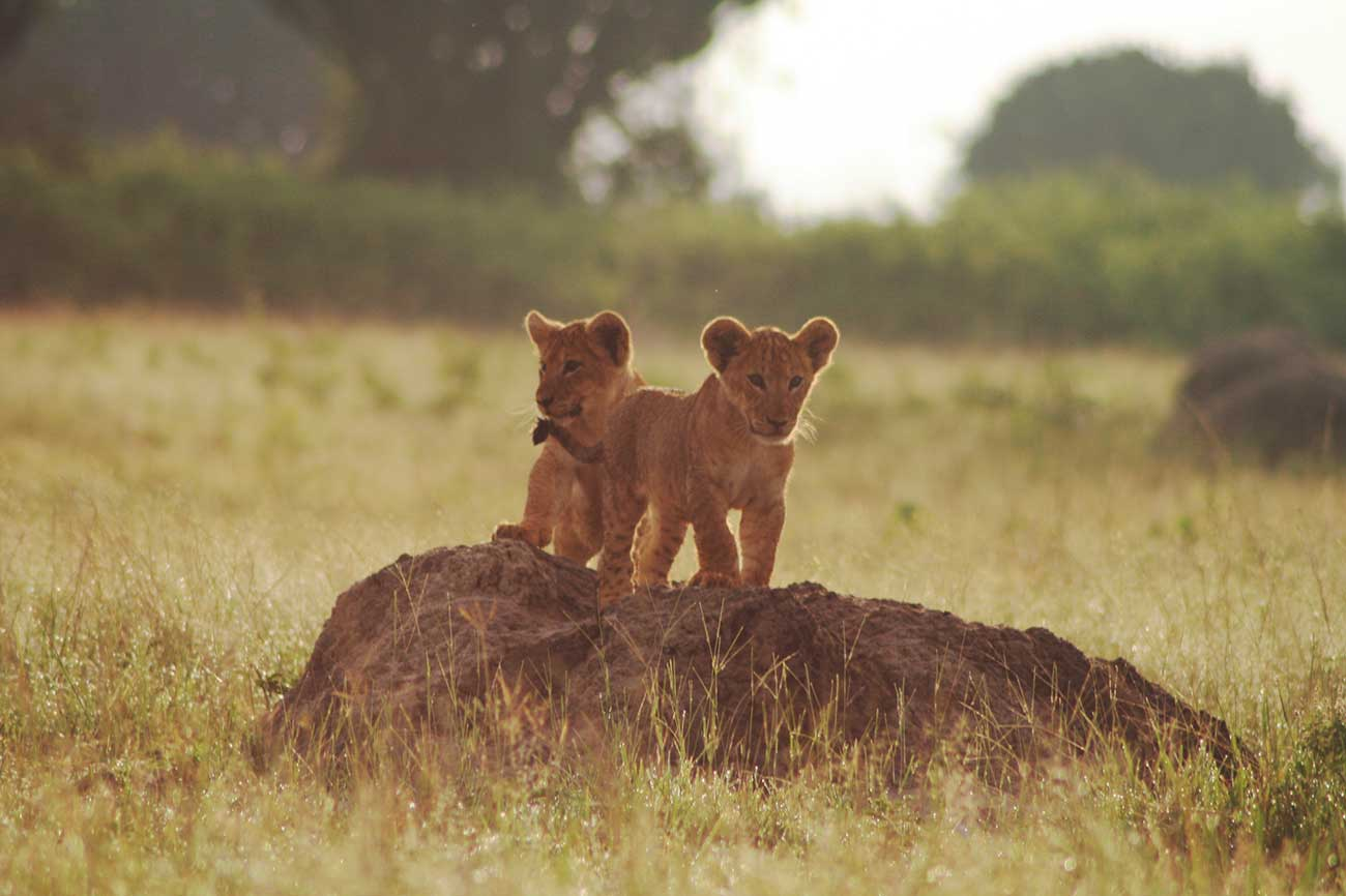 Lion cubs Queen Elizabeth national park Uganda