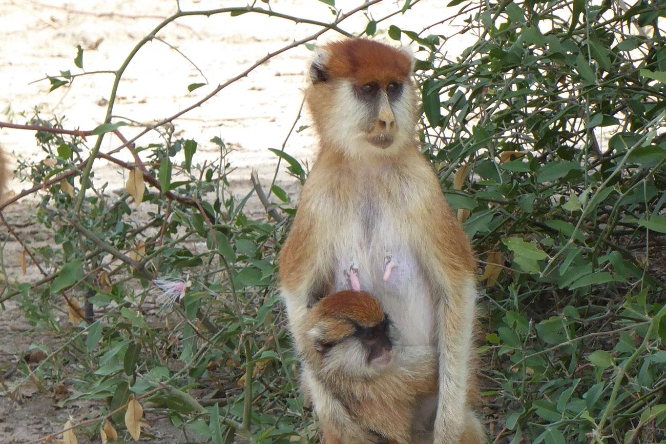 Patas Monkey and baby at Murchison falls National park Northern Uganda