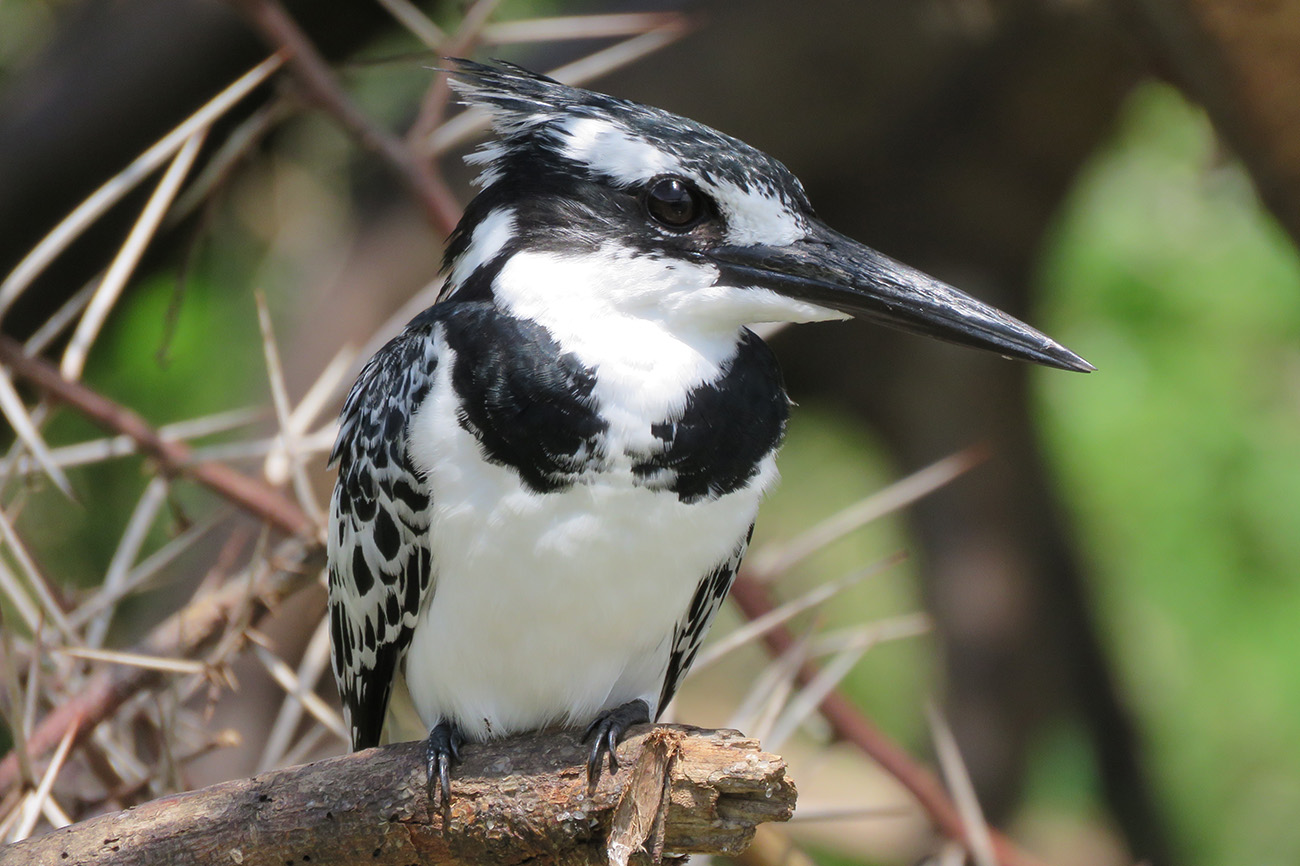 Pied Kingfisher in Uganda.