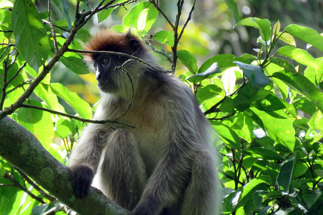 Red Colobus monkey in Bigodi swamp, Uganda.