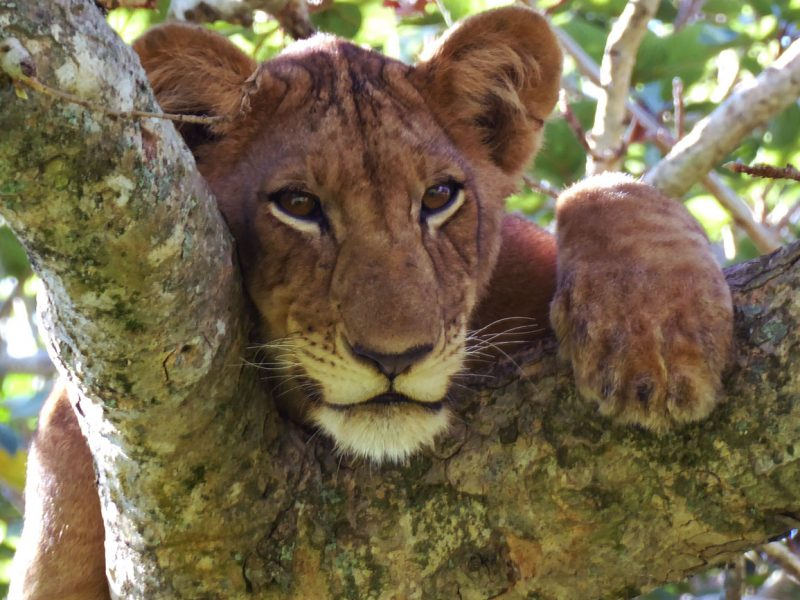 Tree climbing lion spotted on safari in Uganda