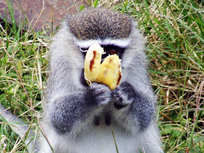 Vervet monkey feeding in Lake Mburo national park Uganda