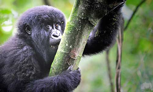 Young gorilla in Bwindi forest, Uganda