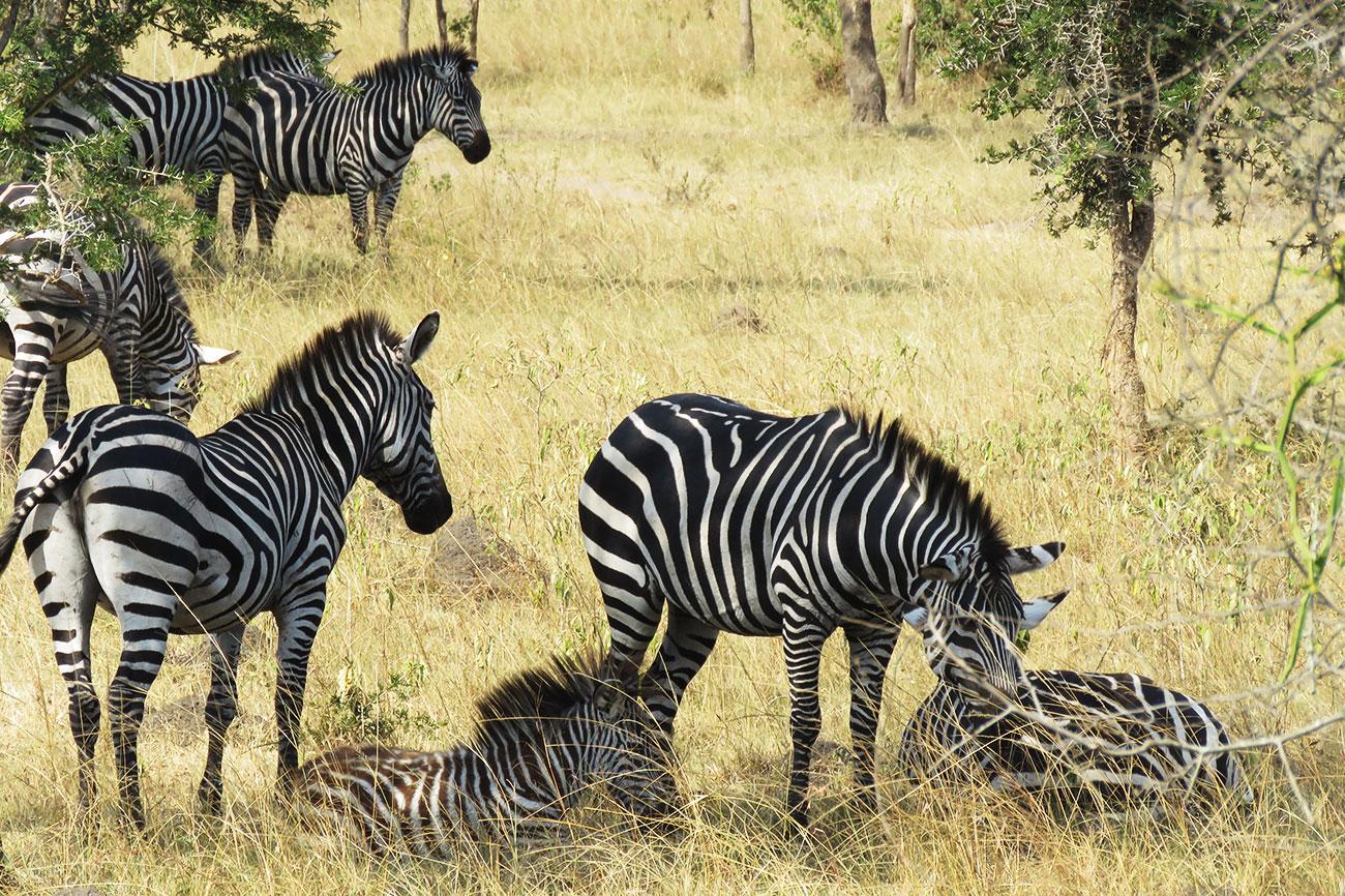 Zebra relaxing Lake Mburo national park spotted on a safari in Uganda