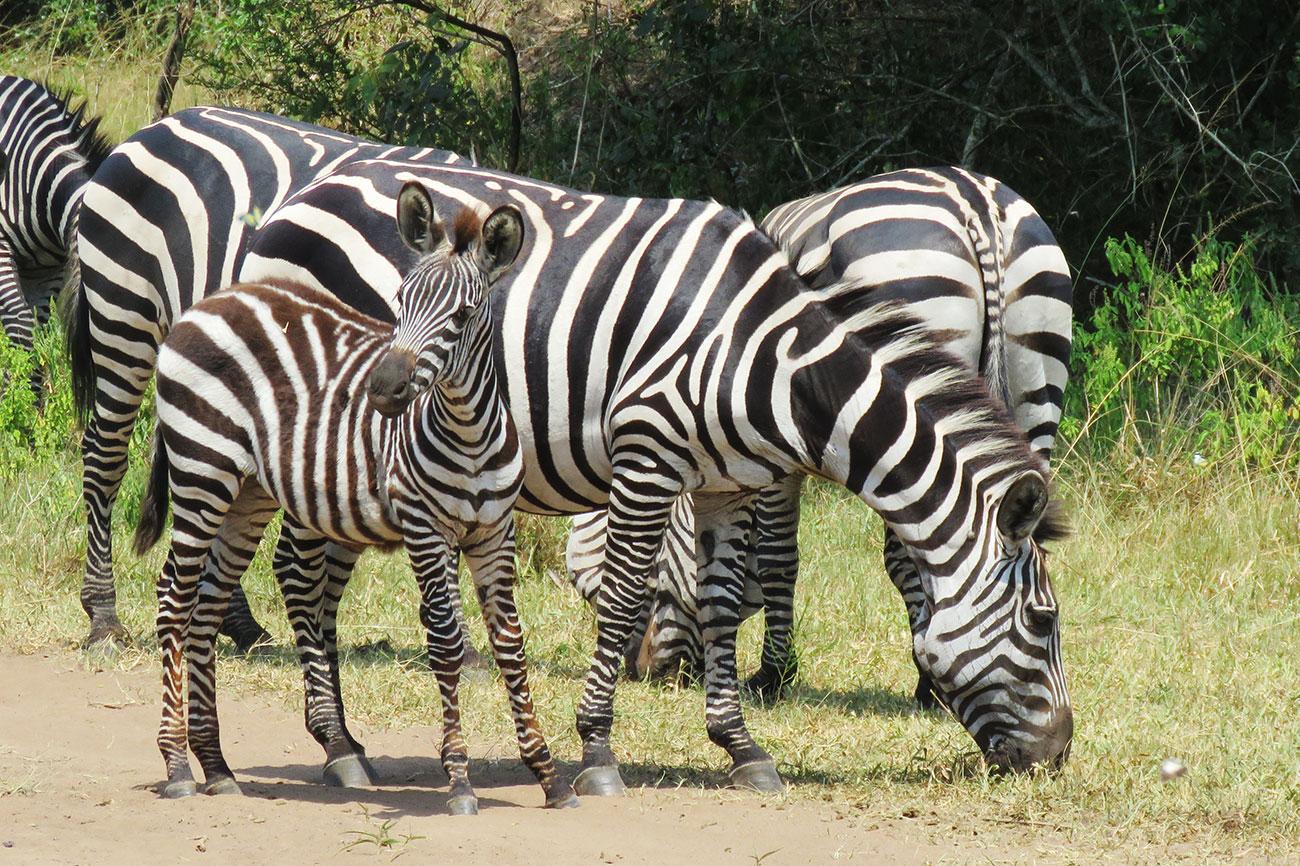 Zebra Lake Mburo national park Uganda safari