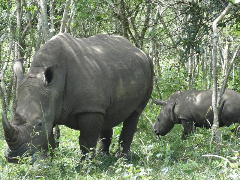 Southern white rhinos at Ziwa Rhino sanctuary.
